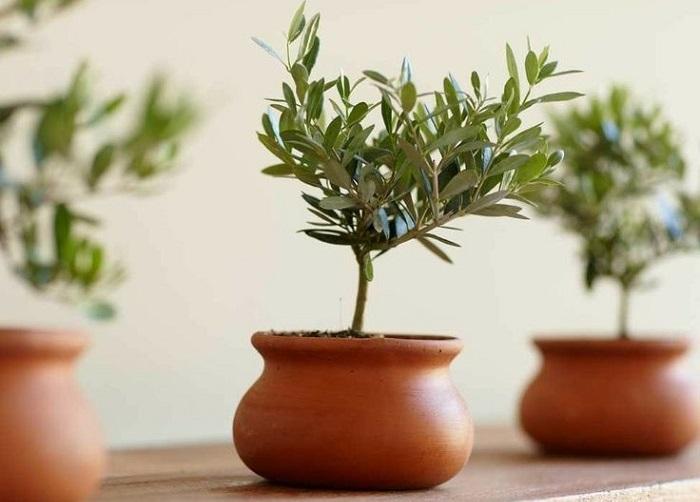 Olive plants1