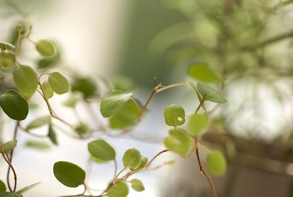 生育旺盛で育てやすく、初心者でも無理なく育てられる観葉植物です。  仕立てかた次第でいろいろな形を楽しめますし、また、寄せ植えにも最適です。葉が乾燥に弱いので、霧吹きで葉に水をかけてやりましょう。  また、大変生育旺盛なので、適時切り戻し、形を整えることをおすすめします。春が適期ですが、室内で育てる場合、ほぼ1年中、剪定可能です。