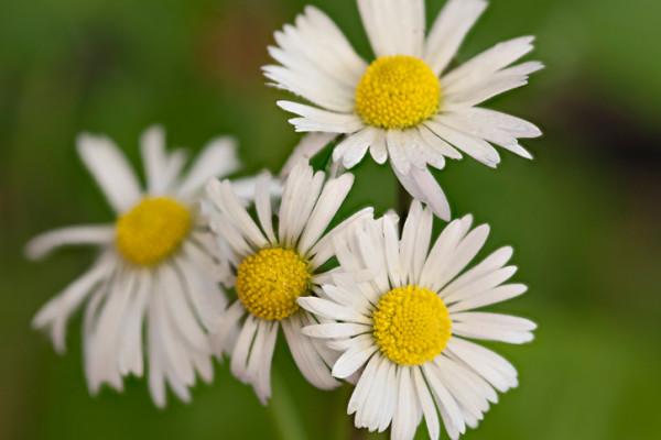 デイジー(雛菊・ヒナギク)の花言葉 種類、特徴、色別の花言葉 ...