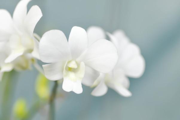 1月16日の誕生花|デンドロビウム | LOVEGREEN(ラブグリーン)