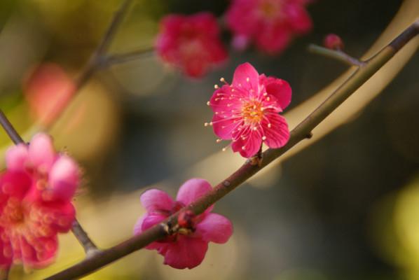 梅(ウメ)の花言葉|種類、特徴、...