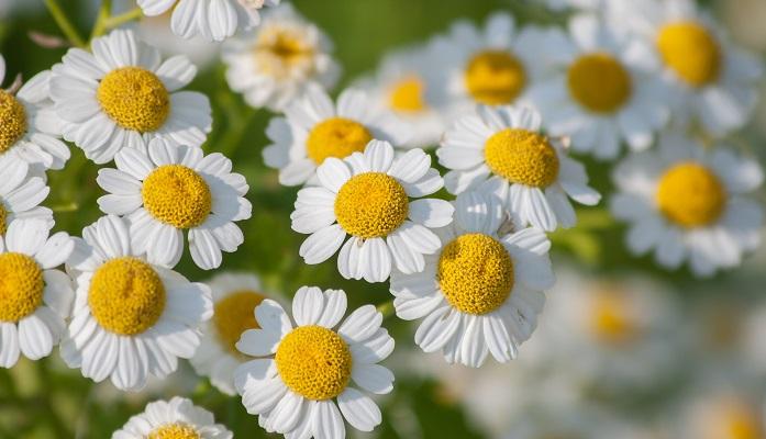 5月27日の誕生花|マトリカリア(ナツシロギク) | LOVEGREEN(ラブグリーン)