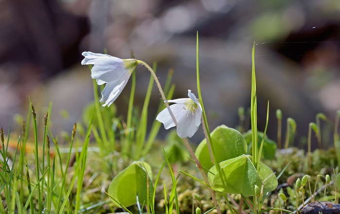 5月20日の誕生花|ミヤマカタバミ | LOVEGREEN(ラブグリーン)