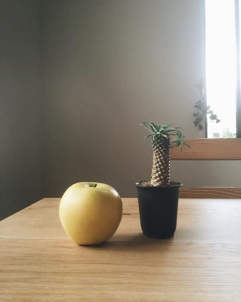 こちらの南国感あふれる植物は、怪魔玉(かいまぎょく)と言われる品種です。  多肉系のユーフォルビアは、日光が大好きです。  しかし、春先や夏場の強い直射日光は気を付けましょう。通常の多肉植物と同じように水のあげすぎには注意です。