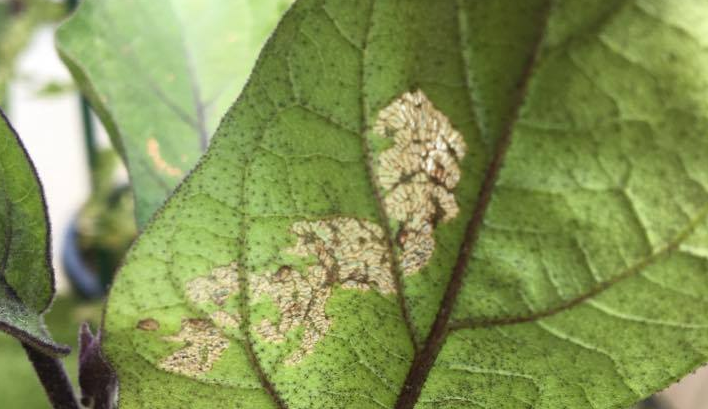 被害に合ったナスの葉は、茶褐色の網の目状の跡が残ります。