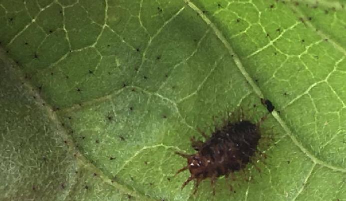 多数のとげがあるニジュウヤシテントウの幼虫も、成虫と同じように葉を食害しますので、見つけ次第捕殺しましょう。