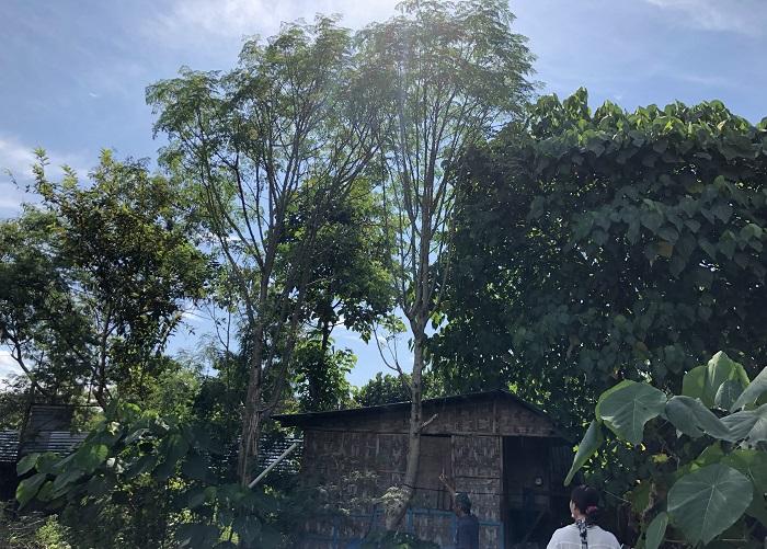 このエコプラントの中でも別名「奇跡の木(ミラクル・ツリー)」と言われているのが「モリンガ」です。写真中心の背の高い木がモリンガです。