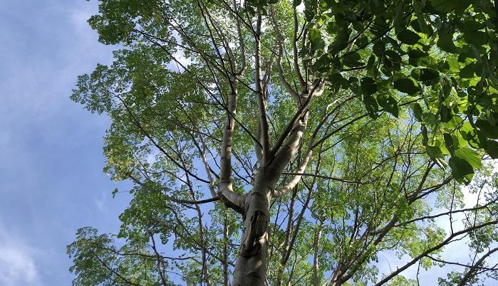 1.5~2m位の大きさになったら葉が収穫でき、 樹齢2年くらいで細長い莢(さや)が収穫できます。小さい莢はいんげんのように料理することができます。モリンガは成長がはやく、一般的な温帯性の樹木は10年くらいで成木になるのに対してモリンガはたったの1~2年です!わき目から出てくる葉をスープなどに使うことができます。