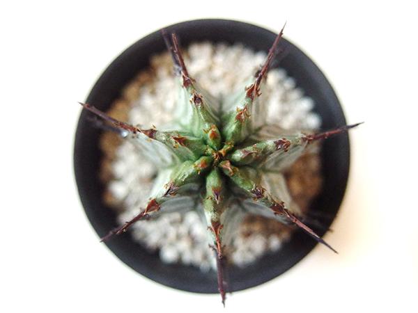 立派なトゲのようなものはありますが、サボテンではありません。  なぜかといいますと、これは花が咲いた後の「花茎(かけい)」がトゲのようになっているのです。