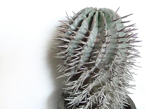 学名は「Euphorbia horrida var. poellnitziana」です。  ホリダのトゲがさらにパワーアップしたのがこちら。もう、正直、武器のような見た目ですね。