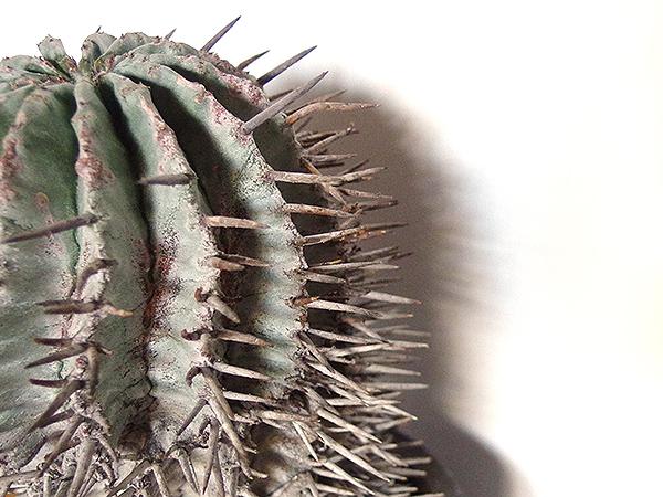 トゲも錆びた釘がびっしりと覆っているような姿です。  ここまで育つのに幾年もの歳月を経てきたのがわかりますね。