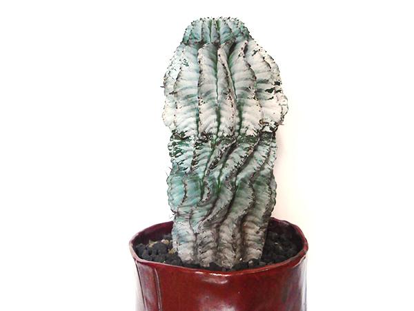 学名は「Euphorbia horrida var. zebrina」です。