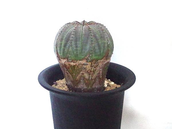 学名は「Euphorbia obesa」です。