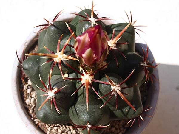 サボテンは写真のようにトゲの下に白い「刺座(しざ)」があります。  この刺座があるものがサボテンで、ないのが多肉植物になります。