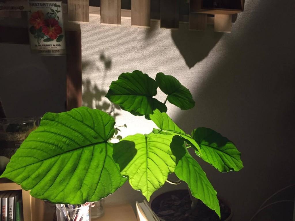夏には、こんなに生い茂りました!  植物の生命力は、すごいなと思いつつ植物を毎日観察することで、今どんな状態か会話できるようになった気がします。  状態を毎日見て、植物の小さな変化を見逃さないようにしていきましょう!  今、葉を落としてしまった観葉も暖かくなったら、芽が出てくるかもしれないですよ。