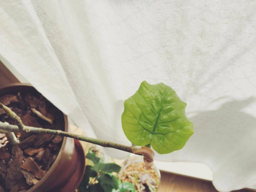 やわらかく、透き通ったような若緑の葉っぱは、どんどん大きくなっていきます。