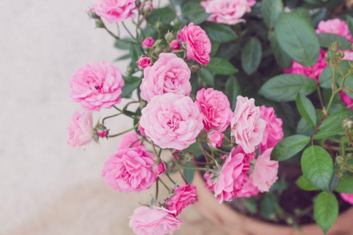 花言葉は「感謝」  バラは、バラ科の多年草です。花の色以外に、本数や部分によっても花言葉があります。花束やブーケ、アレンジメント、プリザーブドフラワーなど広く使われていて、何にでも使える万能のお花です。
