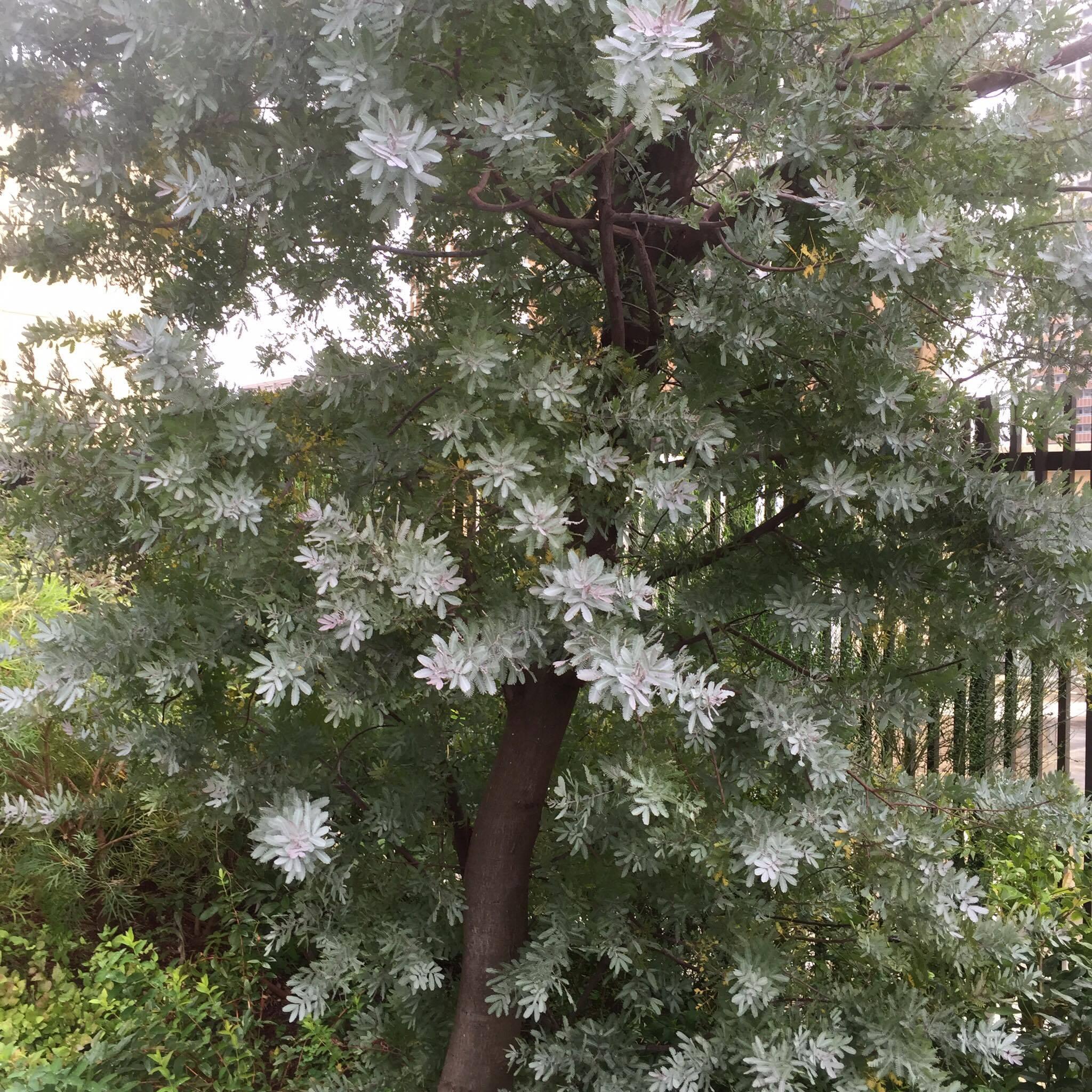 アカシアの木にもカイガラムシはよくつきます。