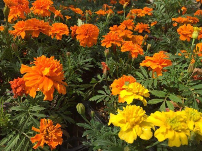 線虫の駆除方法は主に3つあります。  ・対抗植物を育てる  ・土壌消毒をする  ・農薬(殺虫剤)を使う