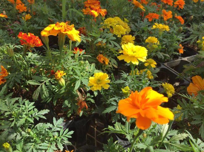そこで、一番有効とされているのが、線虫(センチュウ)の対抗植物の「マリーゴールド」です。  対抗植物は、栽培するだけで線虫(センチュウ)を減らす植物を指し、マリーゴールドの中でも特にフレンチマリーゴールドが有効です。  育てるだけでも有効ですが、花が咲き終わったら、花ごと刻んで土に混ぜ込んで緑肥(りょくひ)にしてしまいましょう。