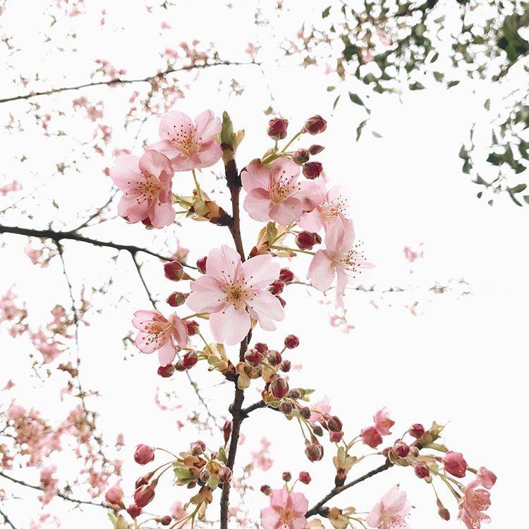 エディブルフラワーというと、最近海外から日本にやってきたようなイメージがありますが、実は古くから日本人にも好まれていました。それが「桜」。桜の塩漬けなら、皆さんも食べたことがあるのではないでしょうか?