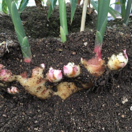 今回は究極のショウガ(生姜)シロップ作りを目指しますので、収穫は根ショウガ(生姜)になるまで待って下さい。