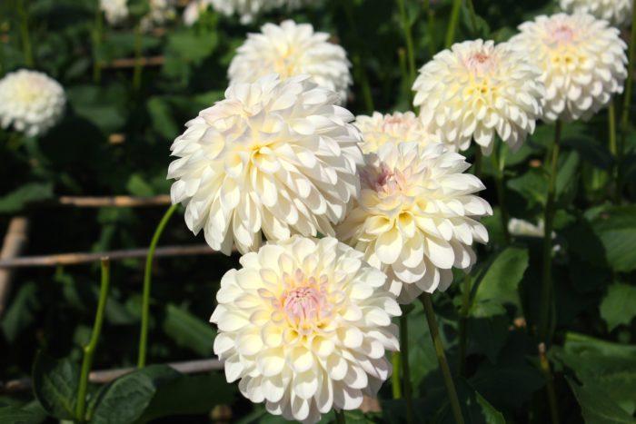 花言葉は「感謝」  ダリアはキク科の多年草です。1輪でもインパクトと存在感の強い大輪のダリアは、ブーケやアレンジメントにも向いています。