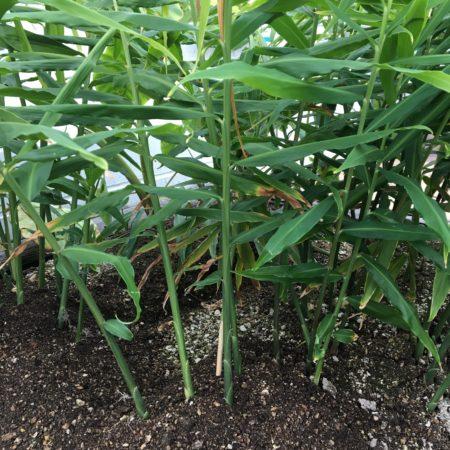 ショウガ(生姜)は家庭菜園の畑以外にも、ベランダのプランターでも育てることができます。ショウガ(生姜)を上手に育てるコツは乾燥に気を付けることです。  ショウガ(生姜)の水やり ショウガ(生姜)は多湿を好みます。特に、夏の乾燥時期は水を切らさないように、充分な水やりを心がけましょう。畑で栽培している方は、敷き草やわらなどでマルチをし、土壌の乾燥を防ぐことも効果的な方法です。  ショウガ(生姜)の肥料 ショウガ(生姜)の追肥は、植え付け後1か月毎に与えましょう。  ショウガ(生姜)の病害虫 他の作物に比べて、比較的病害虫には強い方です。病害虫に強くて、育てやすいところがショウガ(生姜)の良いところです。