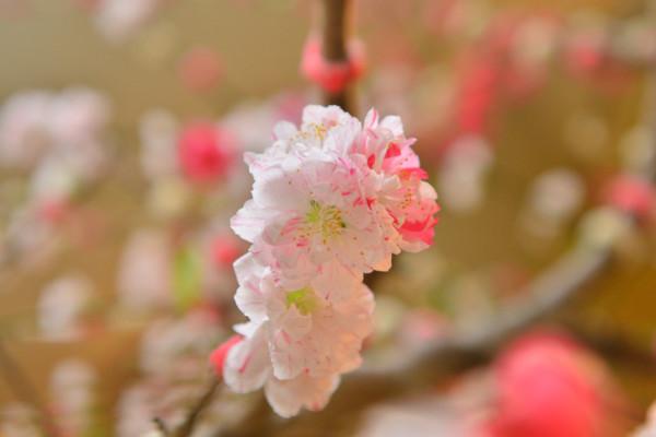 桃(もも)の花言葉|種類、特徴、色別の花言葉