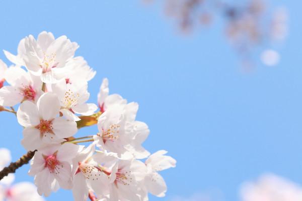 「桜」の画像