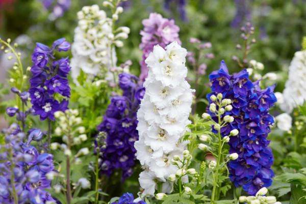 爽やかで清らかな青い花を持つデルフィニウムの花言葉と種類 ...