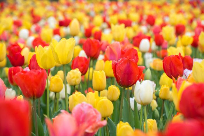 花言葉は「思いやり」  チューリップはユリ科の球根植物です。チューリップ全般の花言葉が「思いやり」なので、好きな色を選んで組み合せて使えることと、他の花にはない形なのでブーケに使っても目立ってくれます。