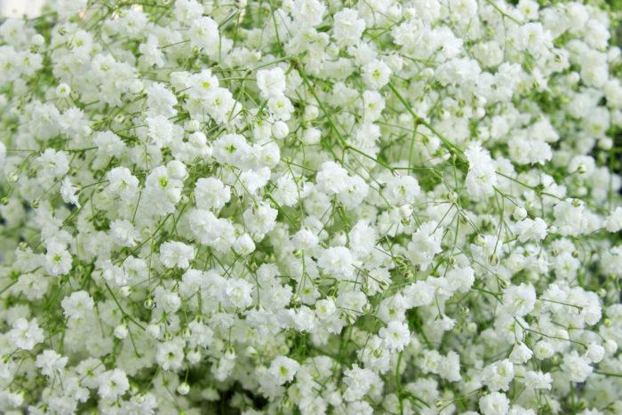 花言葉は「感謝」  カスミソウは、ナデシコ科の多年草。ブーケやアレンジメント、花束などのギフトに、バラなどのメインの花の脇役としてよく使われます。とてもかわいい小さい白い花を咲かせてくれます。