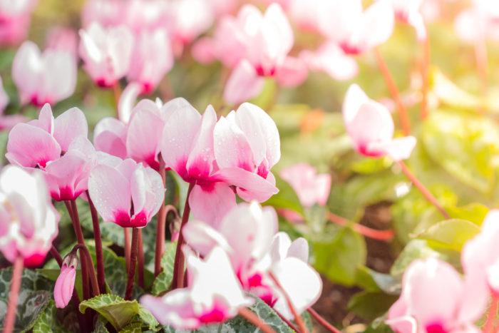 開花したシクラメンの花が枯れてきたら、その花は摘んでしまってください。そのまま放っておくと種をつけようとしてしまい、他の花が小さくなったり蕾が育ちにくくなってしまいます。その状態がずっと続いてしまうと、シクラメンの開花期間のはずなのに花が咲かなくなってしまったり、株が弱りきって枯れてしまうなんてこともあります。枯れた葉も同様に取ってしまってくださいね。