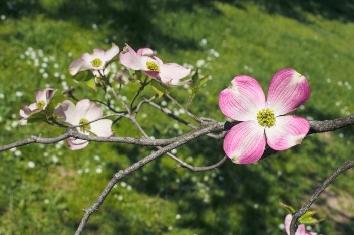 ハナミズキ(花水木)の花言葉|種類、特徴、色別の花言葉