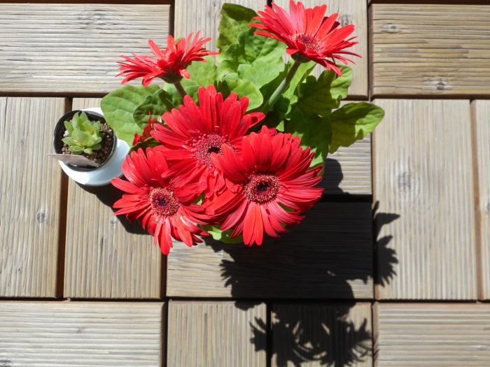 花言葉は「感謝」  ガーベラはキク科の宿根草です。春のプレゼントやギフトでよく使われるガーベラは、色の種類が多く、微妙な色の違いも楽しめます。