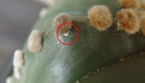 1mm~3mmくらいの丸いものだったり、縦長のものもいます。動かないで、殻のような見た目です。殻はワックス状で硬くなり、薬剤による駆除が難しくなります。