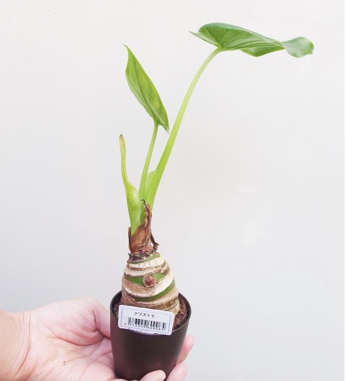 クワズイモの魅力を一言で表現するなら、「スタイリッシュで冬に強い」。サトイモ科の仲間ですが、土の中に塊状のイモを作るのではなく、棒状の根茎が地下から地上に伸びる性質を持っています。この棒状の根茎のデザインがおしゃれです。