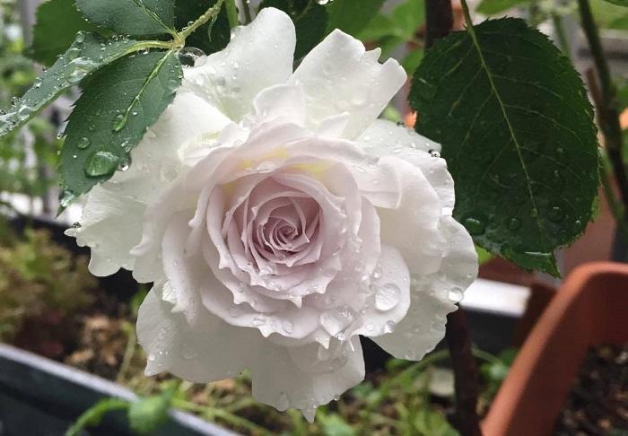 つぼみの内に丸い穴を開けながら花の内側まで食べ進み芯の部分まで食べてしまいます。花びらや葉も食害されます。