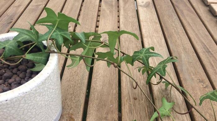 アイビーを挿し木で増やす場合は、水挿しと同じく茎を10cm~15cmぐらいの長さで切り、用土を入れた鉢に挿します。鉢は半日陰で乾燥しすぎないように水やりをしながら育てましょう。