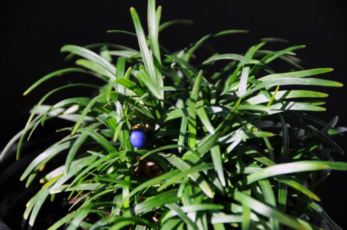 細い葉が特徴的で、冬でも枯れない植物。冬に出来る実は、皮をむくとスーパーボールのように跳ねます。