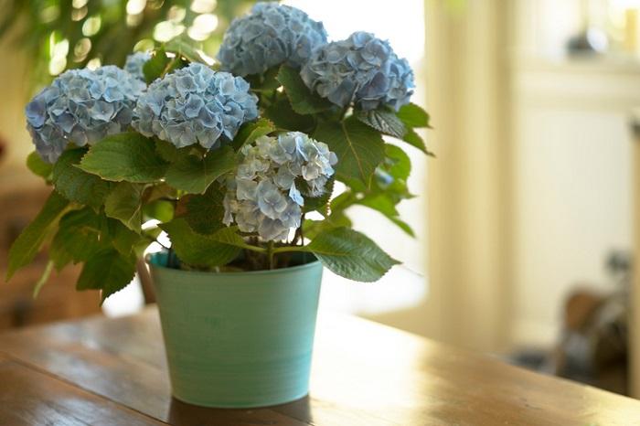 アジサイは6月~外で花が咲いている印象ですが、鉢植えのお花では4月から流通がピークになります。  人気の秘密は品種の多さです。ガクアジサイや玉アジサイ。特に最近はクラシックな色をしたアジサイなど人気です。日を追うごとに色が変わる品種もありアジサイの魅力のひとつ。  育て方は水切れに注意することです。鉢で育てる場合は夏場の猛暑を考慮して腰水で管理がおすすめ。ふた回り位大きな鉢に植えたり、大きくしたくない場合は鉢ごと庭に植えて夏場をしのぐこともできます。冬には枯れ枝になってしまいますが3月ごろから新芽を吹かせます。