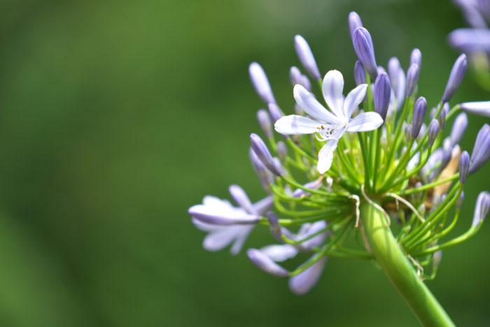 シェードガーデンには珍しい、背が高めの植物です。白や紫の小さいラッパ型のユリのような花ひとつの茎の先にをたくさん咲かせます。