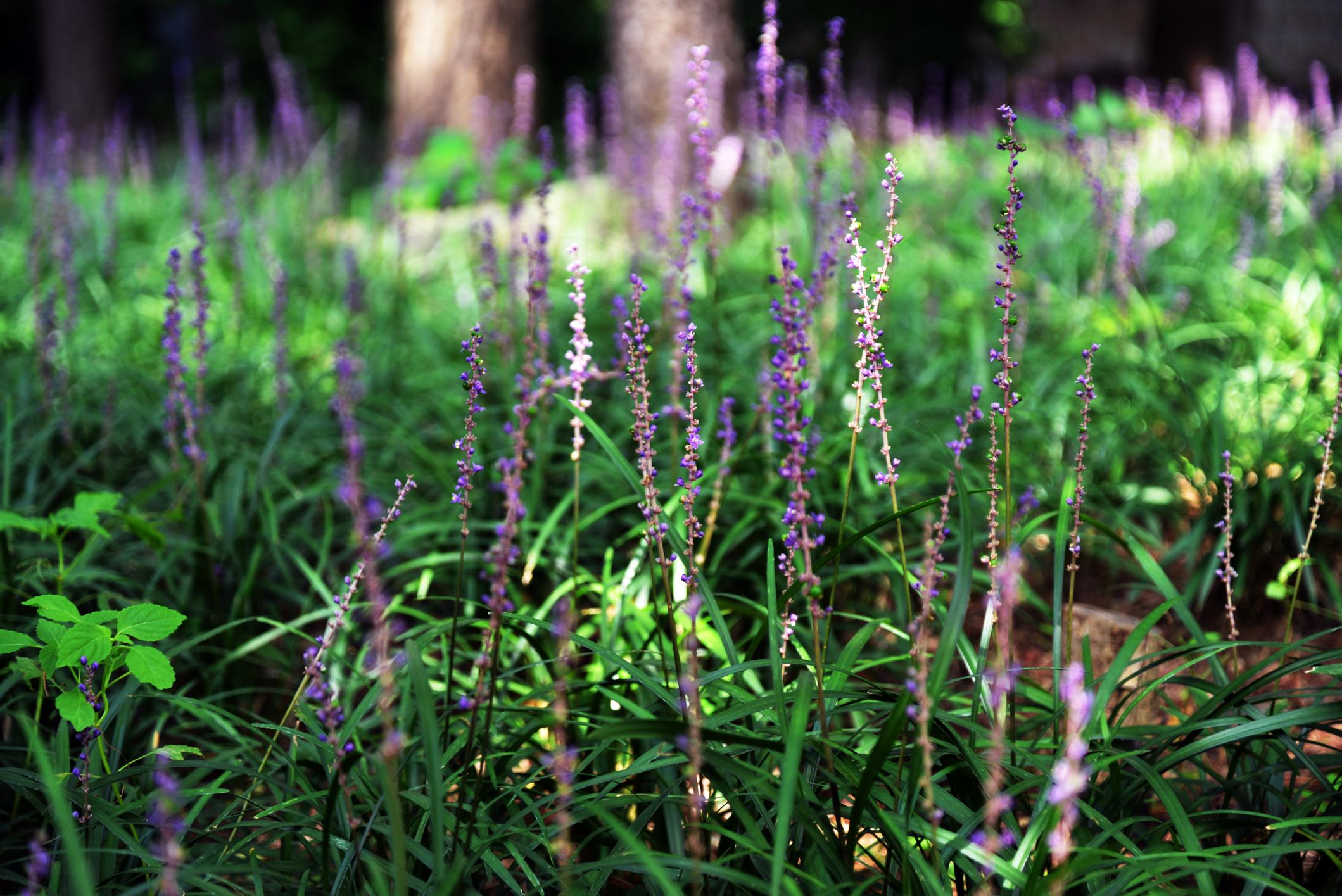 紫色の花としゅっとした細長い葉が印象的な植物。葉の外側が白い斑でおおわれた「斑入りヤブラン」と呼ばれる品種が人気で、よく使用されています。