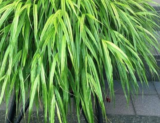 葉がさわさわと風になびく姿が美しく、風が吹くと葉のこすれる音で風を感じることができる植物です。白や黄緑の筋が入るものなどもあり、種類が多いです。広い場所で育てるととても大きく育ちます。