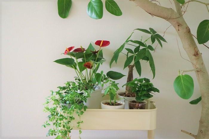 リビング 観葉 植物 風水