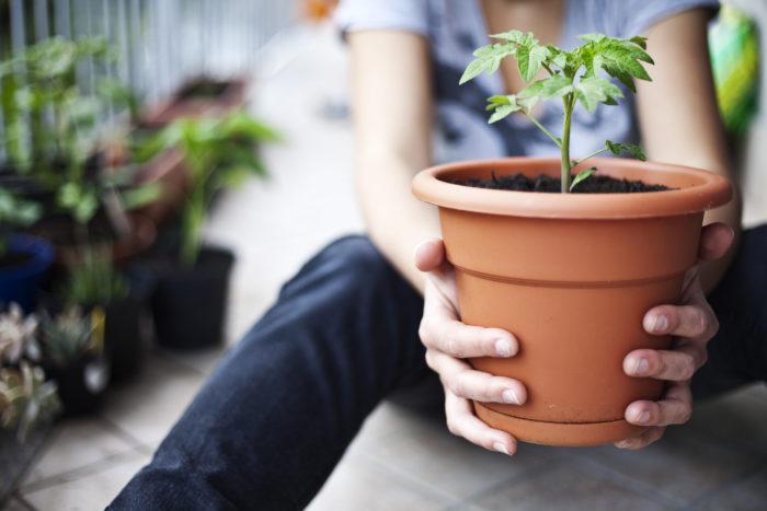 種から育てても苗から育てても、ある程度大きくなったら植え替えが必要になります。植え替えは植物を元気に大きく育てるために必要なことで、植え替えをしないことで生長不良にもつながります。植え替えをする時には、黄色くなった葉や枯れた花は取り除きましょう。傷んだ花や葉を残しておくと病気になりやすくなります。