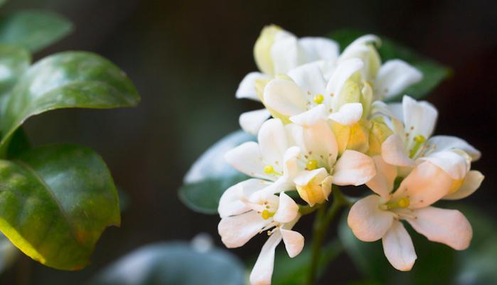 太陽が大好きなので、一年中日が当たる場所に置いてください!寒さにも比較的強いのでどちらかといえば育てやすいです。  白い花が咲き、いい香りがします。甘い香りに包まれると幸せな気分になりますね。