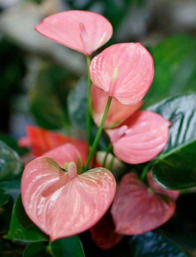 """アンスリウムは様々な色のお花がありますが  恋愛運アップには""""赤""""か""""ピンク""""のお花を咲かせる種類を置いてみましょう。"""