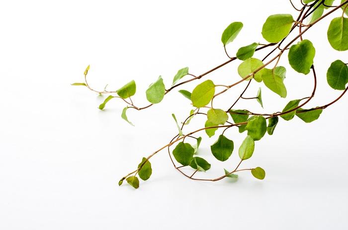 ワイヤープランツの植え替えの適期は4~6月と9~10月です。  根詰まりを避けるため、2年に1度ぐらいのペースで植え替えるといいと思います。植え替えるときは、根を傷めないように優しく行いましょう。